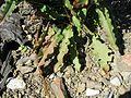 Rumex conglomeratus leaf7 NC - Flickr - Macleay Grass Man.jpg