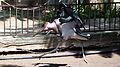Running marabou stork.jpg