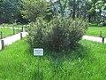 Russina. Yuzhno-Sakhalinsk Museum. Pinus pumila.JPG