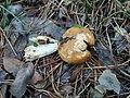 Russula foetens 99432058.jpg