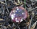Russula spec. 2010-10-13.jpg