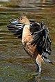 SA18233-Fulvous Whistling Duck.jpg