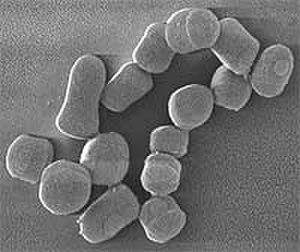 Arthrobacter - Arthrobacter chlorophenolicus
