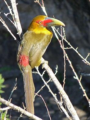 Goldtukan (Pteroglossus bailloni)