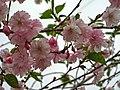 Saint Petersburg. Chinese Garden. Sakura tree2017 03.jpg