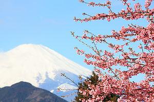Sakura and Mt. Fuji 桜(さくら)と富士山(ふじさん).jpg