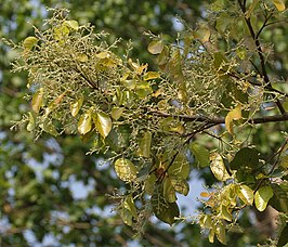 Sal (Shorea robusta)- new leaves with flower buds at Jayanti, Duars W Picture 120.jpg