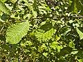 Salix aurita 001.jpg