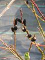 Salix gracilistyla melanostachys (16661758549).jpg