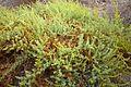 Salsola papillosa1160031.jpg