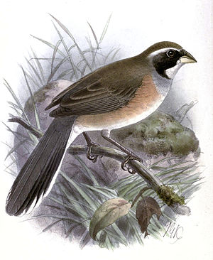 Many-colored Chaco finch - Saltatricula multicolor Keulemans, 1889