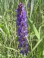 Salvia nemorosa flora.jpg