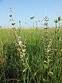 Salvia sclarea sl1.jpg