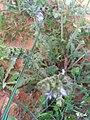 Salvia verbenaca Habitus 2009-4-11 DehesaBoyalPuertollano.jpg