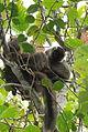 Sanford's lemur, male 02.JPG