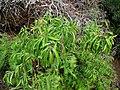 Santalum freycinetianum (5209513489).jpg