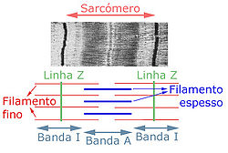 Sarcómero Wikipédia A Enciclopédia Livre