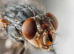 Sarcophagid fly Portrait.jpg
