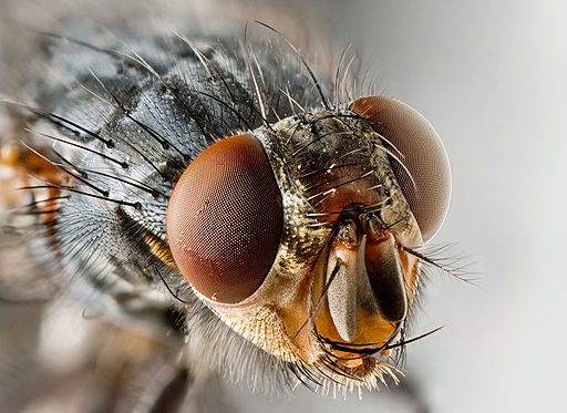 Sarcophagid fly Portrait