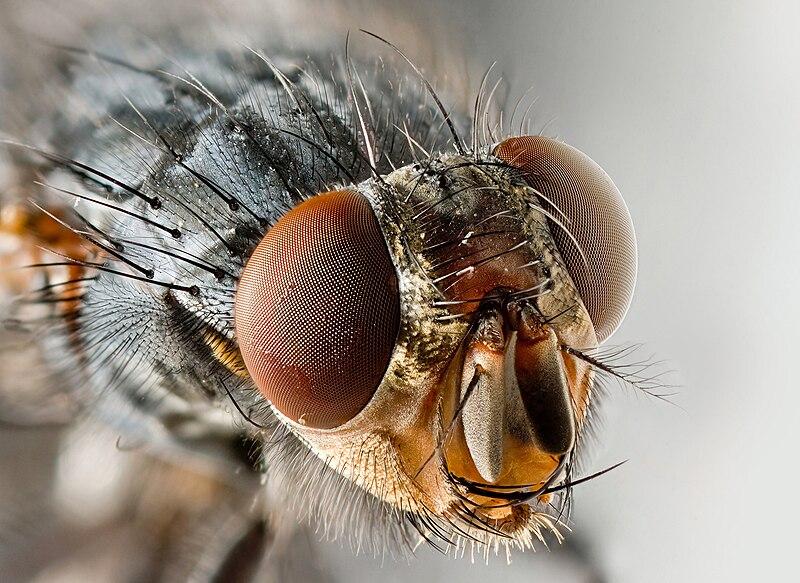 File:Sarcophagid fly Portrait.jpg