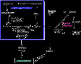 Sarcosine dehydrogenase - Image: Sarcosine glycine pathway