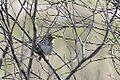Savannah Sparrow (8680695012).jpg
