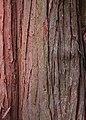 Sawara Falsecypress Chamaecyparis pisifera Bark 2000px.jpg