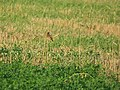 Saxicola rubetra, Lalinačka slatina, Srbija (5).jpg