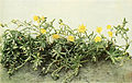 Saxifraga aizoides WFNY-082B.jpg