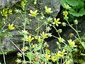 Saxifraga chrysosplenifolia2.JPG