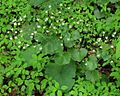 Saxifraga rotundifolia PID1716-3.jpg