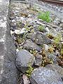 Saxifraga tridactylites Habitat Bahnstrasse Bern 1.JPG