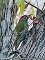 Scaly-bellied Woodpecker (Picus squamatus) (15709067957).jpg