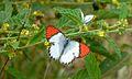 Scarlet Tip (Colotis danae) (6022219484).jpg