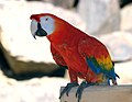 Scarlet macaw at Cougar Mountain Zoological Park.jpg