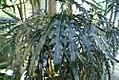 Schefflera elegantissima 1zz.jpg