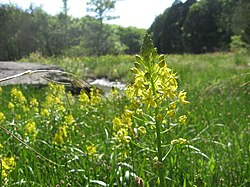 Schoenolirion croceum Central Basin.jpg