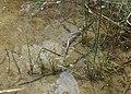Schoenoplectus lacustris kz05.jpg