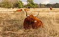 Schotse hooglanders (Highland Cow) beheren het gebied. Locatie, natuurgebied Delleboersterheide – Catspoele 03.jpg