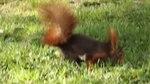 File:Sciurus vulgaris (Madrid, Spain) 003.webm