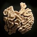Scleractinia (calcium skeleton of stony corals) at Göteborgs Naturhistoriska Museum 9006.jpg