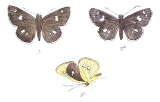<i>Scobura</i> genus of insects