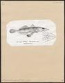 Scorpaena chilioprista - 1700-1880 - Print - Iconographia Zoologica - Special Collections University of Amsterdam - UBA01 IZ13300035.tif