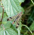 Scorpion Fly . Female - Flickr - gailhampshire.jpg