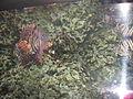 Scorpion fish from kuwait (1).JPG
