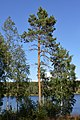Scots Pine (Pinus sylvestris) - Oslo, Norway 2020-08-04.jpg