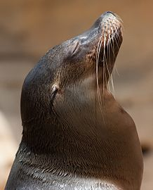 Sea lion head.jpg