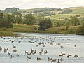 Seasonal inhabitants of Tittesworth Reservoir - geograph.org.uk - 504881.jpg