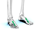 Second metatarsal bone02.png