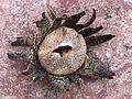 Seedpod on granite in Canyonlands National Park. NPS-Gwen Gerber (18683954465).jpg